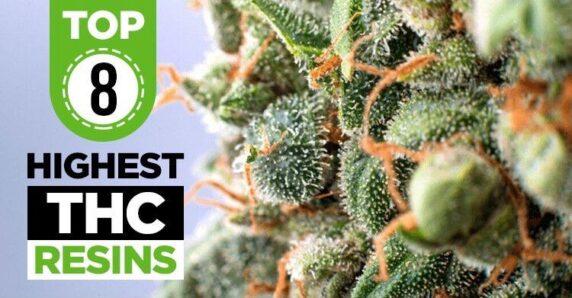 highest thc strains